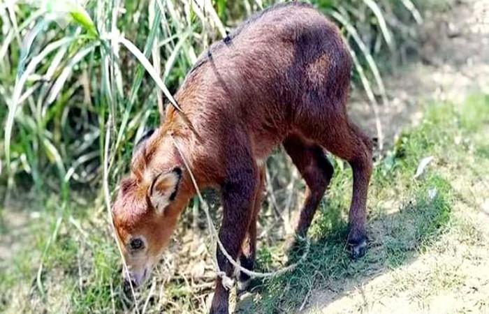বান্দরবানের গহীন বনে বিরল প্রজাতির ছাগল