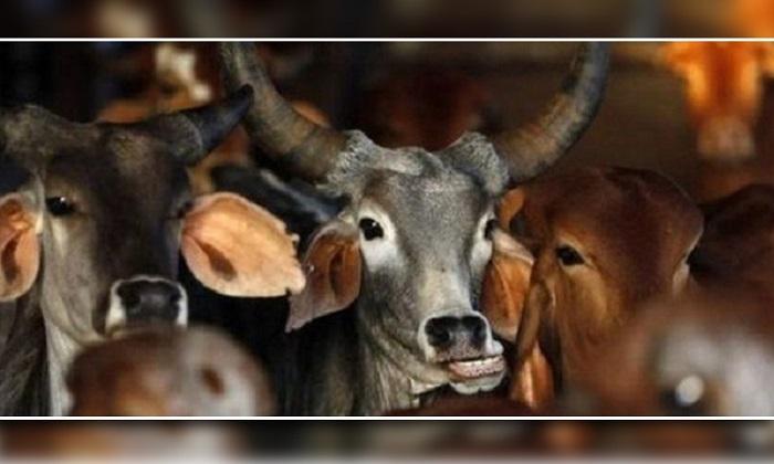 পীরগঞ্জে ফিল্ম স্টাইলে ঘটলো গরু চু'রির ঘটনা