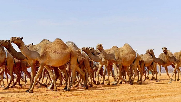 বিশ্বের সবচেয়ে বড় উটের হাসপাতাল বানাচ্ছে সৌদি আরব