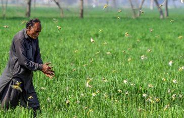 পাকিস্তানের কৃষকরা পঙ্গপাল বিক্রি করে আয় করছে!