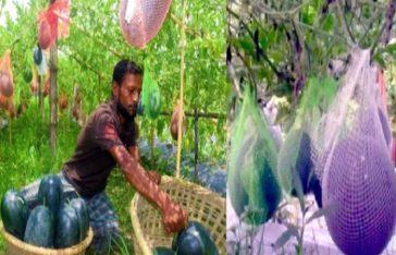 ইউটিউব দেখে 'থাই তরমুজ' চাষ, ৬৫ দিনেই লাখপতি